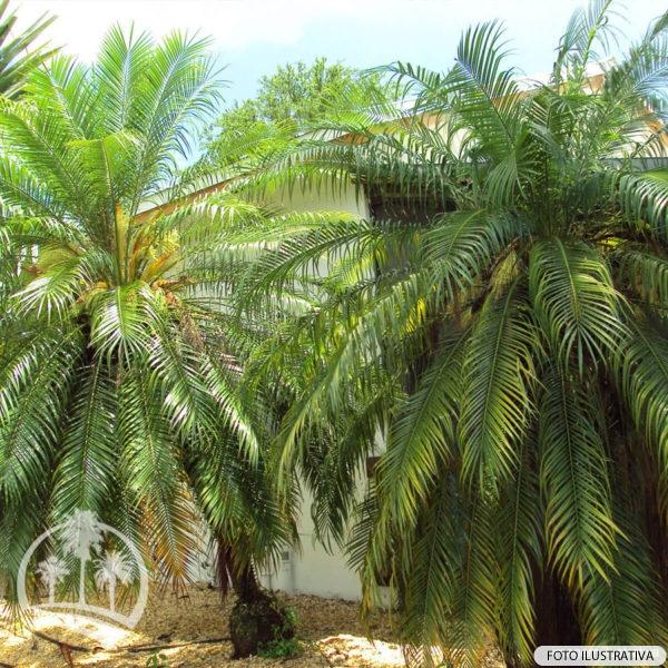 Palmeira Fenix (Phoenix Roebelenii)_palmeiras_do_vale