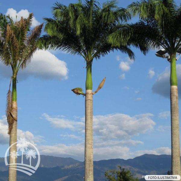 Palmeira Real (Roystonea regia)_palmeiras_do_vale