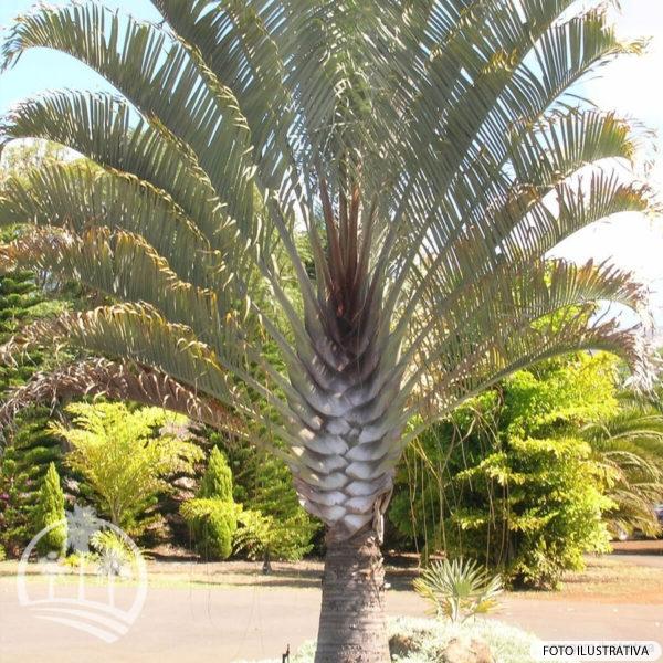 Palmeira Triangular (Dypsis Decary)_palmeiras_do_vale