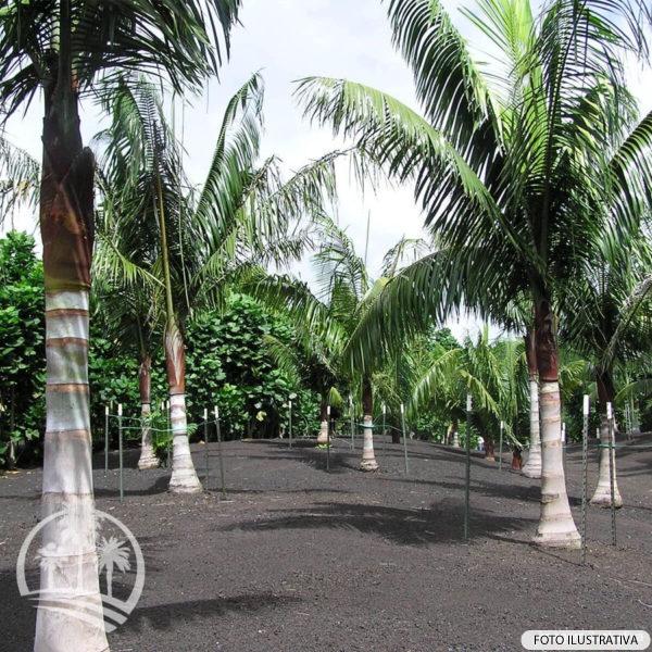 Palmeira de pescoço marrom (Dypsis lastelliana)_palmeiras_do_vale