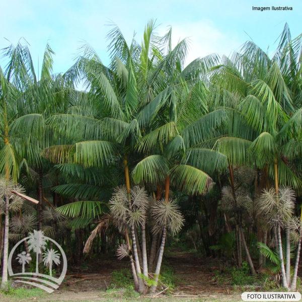 Açai (Euterpe oleracea)_palmeiras_do_vale1