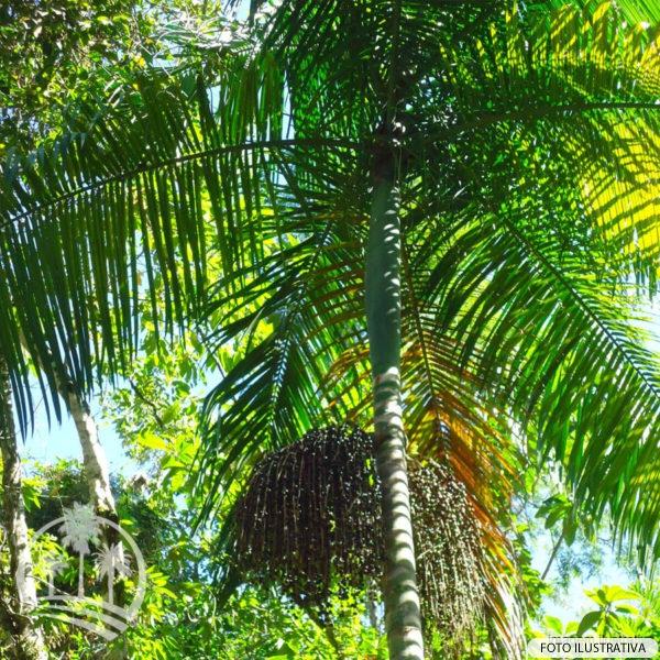 Areca de locuba (Dypsis madagascarienses)_palmeiras_do_vale