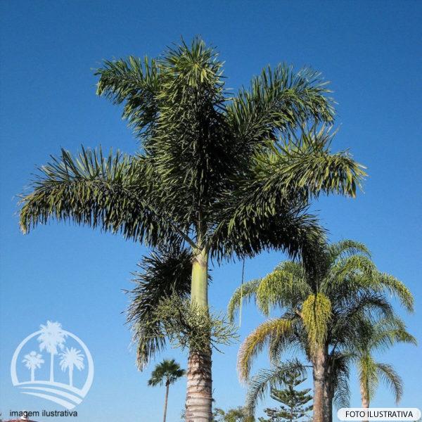 Palmeira Rabo de Raposa (Wodyetia bifurcata)_palmeiras_do_vale