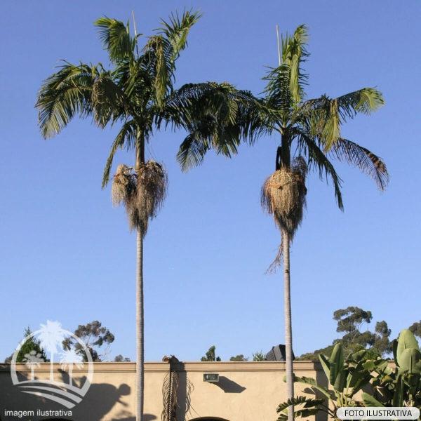 Seafortia (Archontophoenix cunninghamiana)_palmeiras_do_vale
