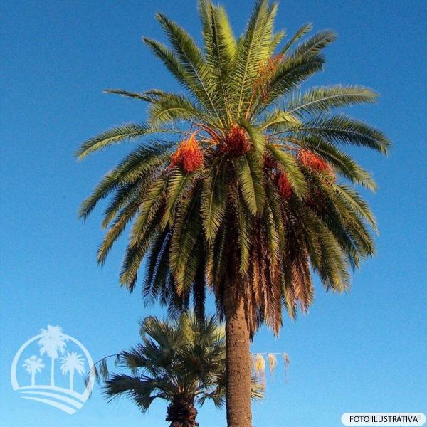 Tamareira (Phoenix dactylifera)_palmeiras_do_vale