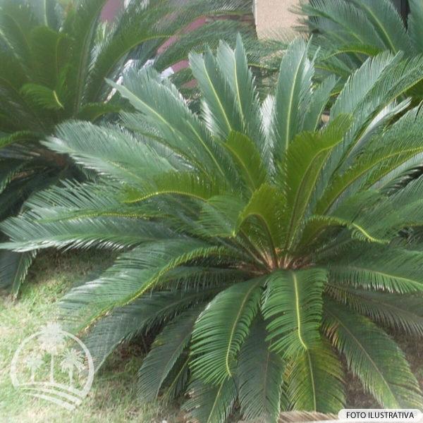 Cica (Cycas Revoluta)_palmeiras_do_vale