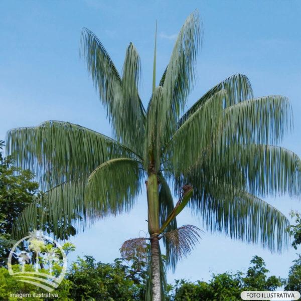 Jussara (Euterpe edulis)_palmeiras_do_vale