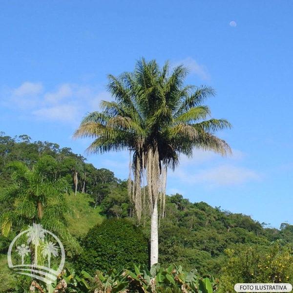 Licuri (Syagrus romanzoffiana)_palmeiras_do_vale