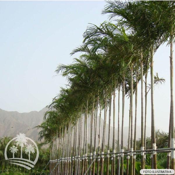 Palmeira Carpentaria (Carpentaria acuminata)_palmeiras_do_vale
