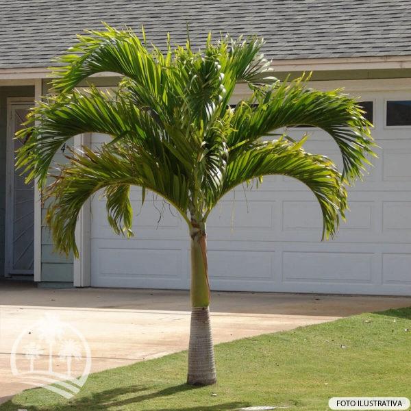 Palmeira Veitchia (Veitchia merrillii)_palmeiras_do_vale