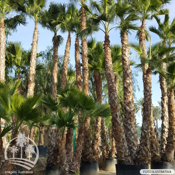 Washingtonia (Washingtonia Robusta)_palmeiras_do_vale